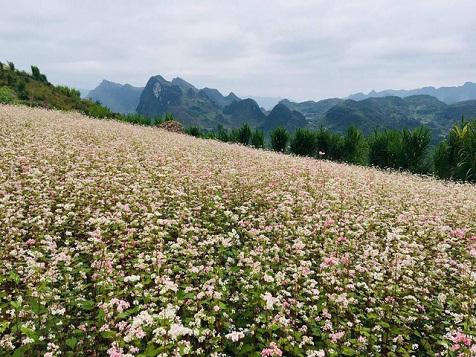 Điểm ngắm hoa tam giác mạch ở Hà Giang nhất định phải khám phá tháng 11 này
